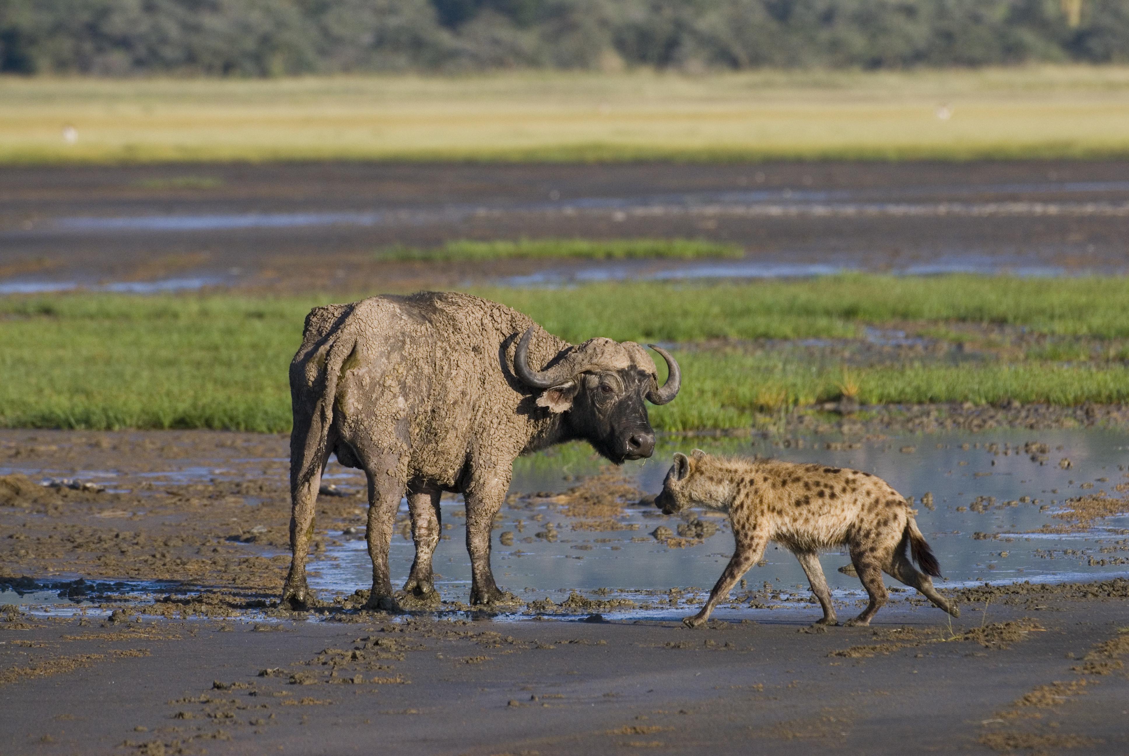Tuepfelhyaene, Crocuta crocuta, beim Versuch einen Kaffernbueffel zu erlegen, NAKURU NATIONAL PARK, KENIA, Ost-Afrika                |Spotted Hyenas hunting an African Buffalo, Crocuta crocuta, NAKURU NATIONAL PARK, KENYA, EAST Africa|