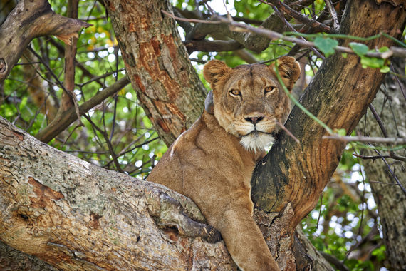 Baum kletternder Loewe, Panthera leo, Region Ishasha, Queen-Elizabeth-Nationalpark, Uganda, Afrika |tree climbing lion, Panthera leo, Ishasha Sector, Queen Elizabeth National Park, Uganda, Africa|