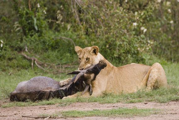 Loewe (Panthera leo), Loewin toetet Gnu, Masai Mara, KENIA, Afrika                |lion (Panthera leo), lioness kills wilderbeest, Masai Mara, KENYA, Africa|