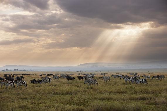 Steppenzebra, Equus quagga, Serengeti, Tansania, Afrika |Plains Zebra, Equus quagga, Serengeti, Tanzania, Africa|