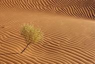 Afrika, Namibia, ehemalige deutsche Kolonie, einsamer Strauch im Sand auf an einer D|ne in der W|ste Namib bei Sossusvlei, Touristenattraktion